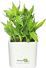 Nurturing Green Lucky Bamboo 2 Layer in Marble Pot