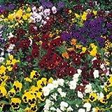 Fiore - Kings Seeds - Confezione Multicolore - Viola del Pensiero -Inverno Fioritura Mix