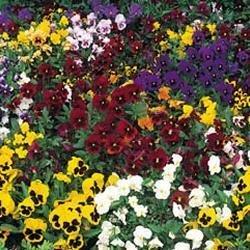 Galleria fotografica Fiore - Kings Seeds - Confezione Multicolore - Viola del Pensiero -Inverno Fioritura Mix