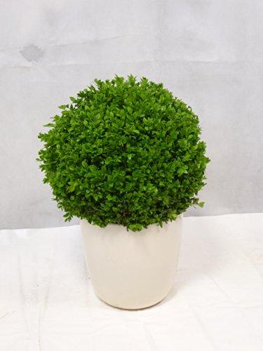 Buchsbaum 7,5 l