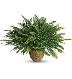 Harit - The Plants Shop Special Boston Fern Plant (Green)