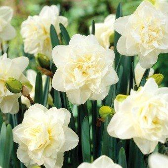 inkeme giardino - narciso mix seeds narciso fiorito profumato con fiori colorati fiore reciso semi di fiori primavera perenne hardy per giardino balcone/terrazza