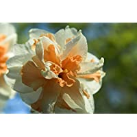 Narcissus Delnashaugh - Daffodil Delnashaugh - 5 / Narcissus Delnashaugh - Narciso Delnashaugh - 5 bulbos