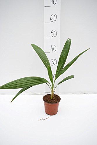 Brahea edulis - Guadalupepalme, verschiedene Größen (40-50cm - Topf Ø 14cm)