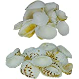 Zevora Sea Shells For Home Decor, Aquarium, Pack Of 2 (600 Gms) (Shells Combo Of 2 Cream Color & Small Mix Color)