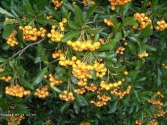 Feuerdorn 'Orange Glow' - Pyracantha 'Orange Glow' 15-30 cm, 3-4 pro m von Gartengruen24 auf Du und dein Garten