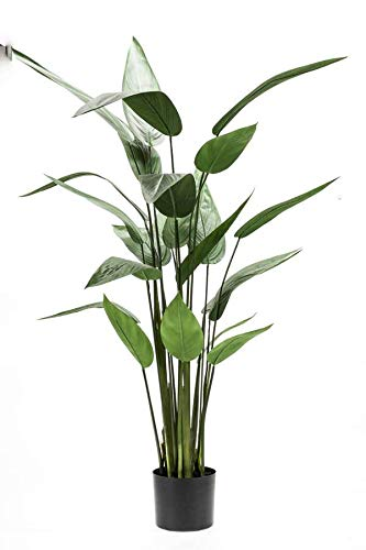 "Epiphyllum blattkakteen epicactus /""My Old Flame/"" plantas jóvenes"