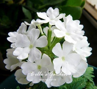 100pcs Multi-colores de la variedad Verbena Semillas de plantas resistentes semillas de flores exóticas Semillas ornamentales Flores Bonsai 03