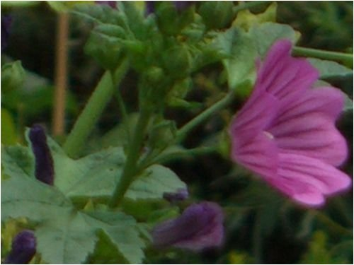 Seedeo Blaue Malve (Malva sylvestris) 200 Samen
