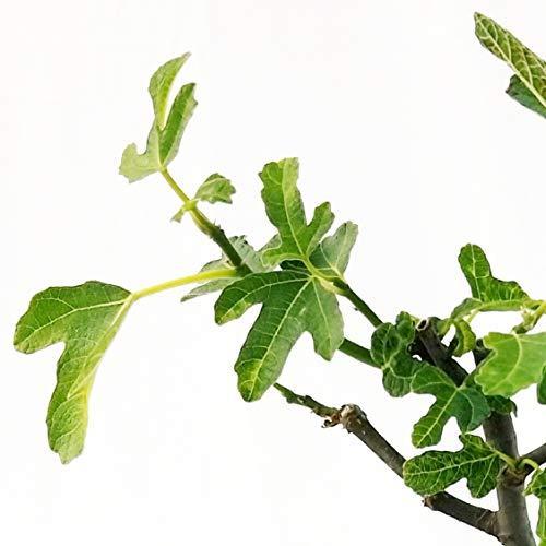 Zoom IMG-1 fico ficus carica bonsai in