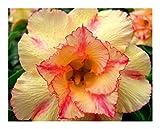 Adenium obesum Orange V - Wüstenrose - 3 Samen