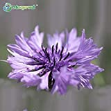 ASTONISH Sgomento SEMI: 100 pezzi viola Fiordaliso Semi balcone patio con giardino Fiori in vaso bonsai pianta domestica del tetto Fiori Seed