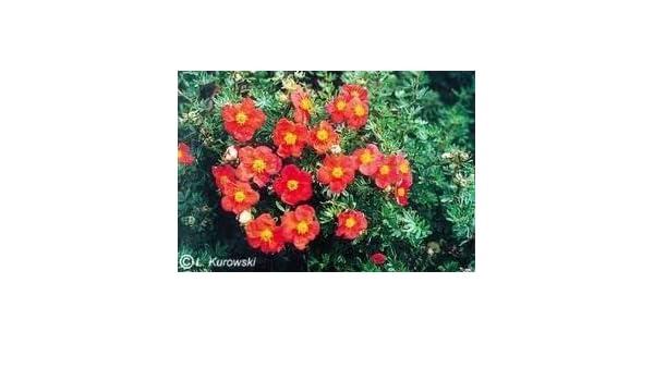 Potentilla /'Red Ace/' shrub plant in a 19//20cm pot.