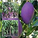 All Season Gardens Grafted Thai Purple Mango Tree Plant Nam-Dok-Mai Si Mueng Live Plant (1.5+ Feet)