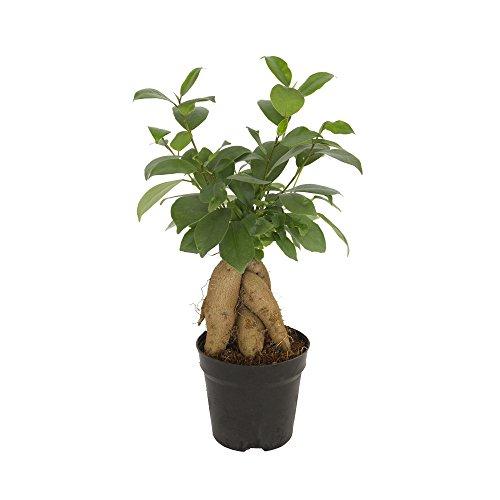 Ficus asiatischer Bonsai,