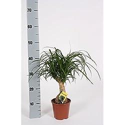 Elefantenfuß, (Beaucarnea recurvata), pflegeleichte Zimmerpflanze, ca. 40cm hoch im ca. 12cm Topf