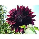 GEOPONICS Cereza unflower 15 semillas Muchos en cada uno!