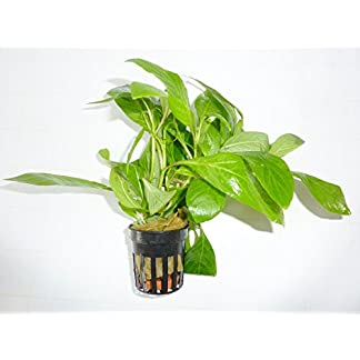 Fish Around Aquarium Live plant hygrophila, Suitable for Heated Aquariums 10