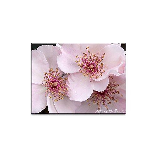Rosenbild: Süß und offenherzig als Kunstdruck / Fotoprint im Format 60cm x 45cm