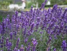 Lavandula angustifolia 'Hidcote' Pot 14