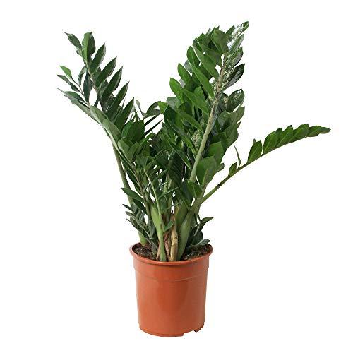 Arbre d'intérieur de Botanicly - Plante ZZ - Hauteur: 80 cm - Zamioculcas