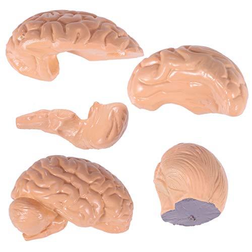 Toyvian Anatomie Gehirnmodell Biologieunterricht Zubehör
