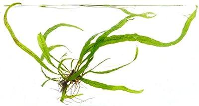 echte Süsswasser Pflanze Javafarn Microsorum pteropus narrow von Wasserfarm bei Du und dein Garten
