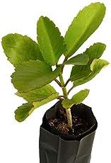 Patpert Agrotech Panfuti, Vernacular, Bryophyllum Pinnatum, The Medicinal Ayurvedic Plant