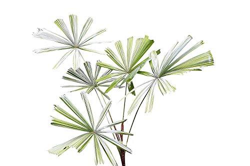 Mangroven - Strahlenpalme (Licuala spinosa) 10 Samen