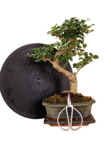 Anfänger Bonsai-Set Liguster - 4 teilig - ca. 30cm hoher Liguster-Bonsai, 1 Schere, 1 Untersetzer, 1 Arbeitsdrehteller