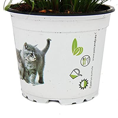 Katzengras - Cyperus alternifolius - 3 Pflanzen - zur Verdauungsunterstützung von Katzen von exotenherz.de bei Du und dein Garten