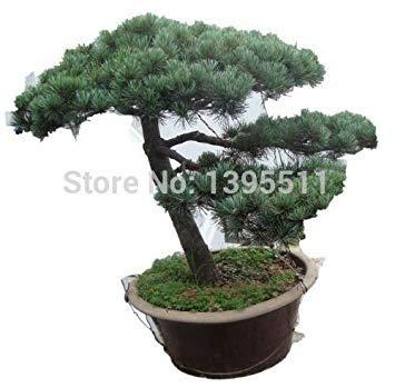 30pcs / bag Japanische Kiefer Samen, Bonsai Pinus thunbergii Samen