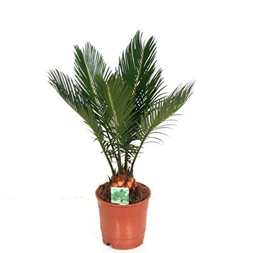 Blumen-Senf Cycas Revoluta 30-50 cm/2-5 Wedel/TopfØ 12 cm Palmfarn Sagopalme Sonderposten