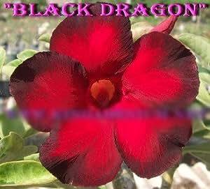 """Wüstenrose -adenium obesum adenium arabicum pflanzen """"no6-BLACK-DRAGON"""""""