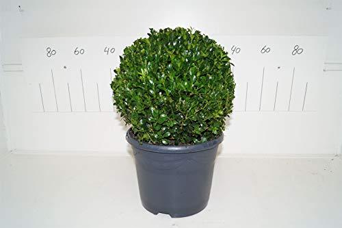 Buchsbaum Kugel, (Buxus sempervirens var. Arborescens), winterhart und immergrün, (ca. 28cm im Durchmesser, im 23cm Topf)