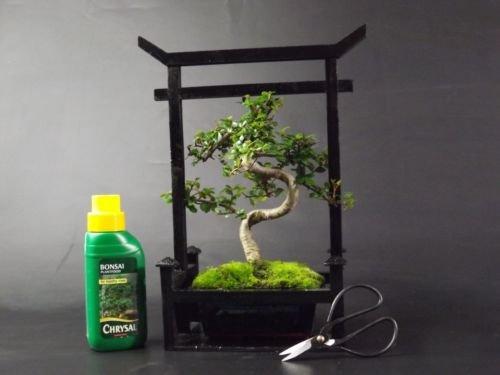 Arbre Bonsaï Coffret Cadeau Orme De Chine