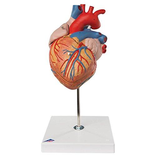 3B Scientific Menschliche Anatomie - Herzmodell, 2-fache Größe, 4-teilig (Modell Herz)
