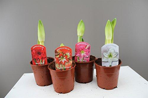 amaryllis-leuchtmittel-topfpflanzen-geschenk-fur-jeden-anlass-bluht-mit-schonen-grossen-blumen-kann-