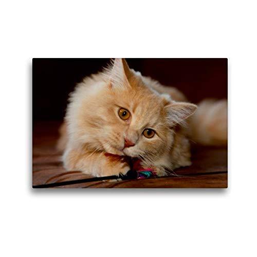 Somali-katze (Calvendo Premium Textil-Leinwand 45 cm x 30 cm quer, Sibirische Katze | Wandbild, Bild auf Keilrahmen, Fertigbild auf echter Leinwand, Leinwanddruck Tiere Tiere)