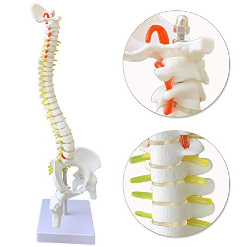 XIEJI Lebensgroßem Wirbelsäule Anatomie Modell,mit Becken, Femurkopf,45 cm Skelett Modell Lernmodell oder Lehrmittel -