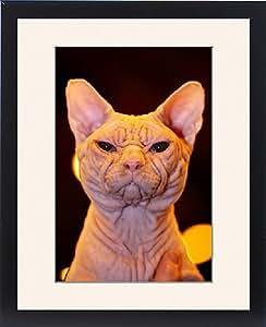 Tableau encadré d'Artemis alias Wrynkleskyns Mementi Mori hairless Sphynx le Chat à la London Pet