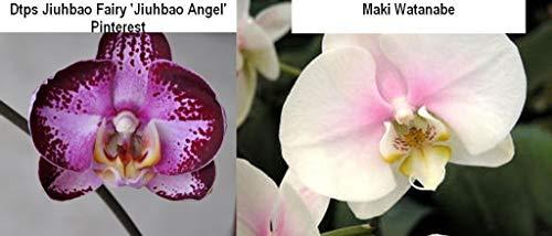 FARMERLY Bin 7970 P. Jiuho Fee 'Jiuho Angel' x Ma Watanabe 2 1/2 '' Pot S982 by -