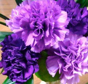 nelke-lila-riesen-chabaud-30-samen-carnation-dianthus-samengefllteduftend