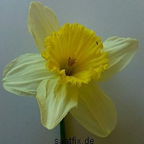 Blumenzwiebeln Narzissenzwiebeln Sortiment Osterglocken Miniatur-Narzissen (6 x 100 Stück) Mischung