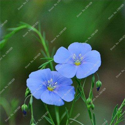 Bleu Fleur de Lin Graine vivace Fleur Graine Quatre Saisons Fleur plantes ornementales tropicales en plein air Bonsai Lin Semilla 100 Pcs 2