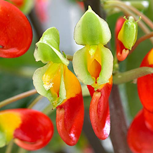 Qulista Samenhaus - Rarität Schwarzarfrika Kongo-Lieschen | Terrassen- und Balkonpflanzen 50pcs Blumensamen winterhart mehrjährig