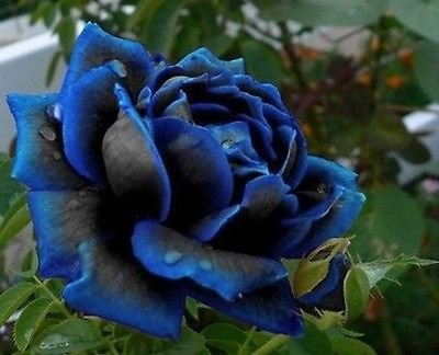 Galleria fotografica Midnight Rose più alto Semi raro colore blu con Black Rose seme ideale domestico di DIY Flower Garden 120 PCS