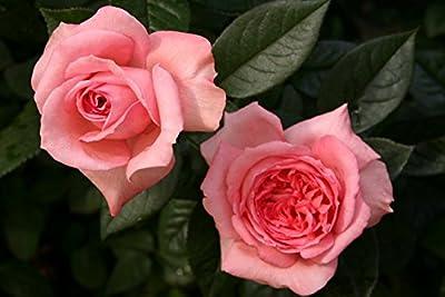 Fragonard® - Container Rose im 4 ltr. Topf von Rosen-Direct auf Du und dein Garten