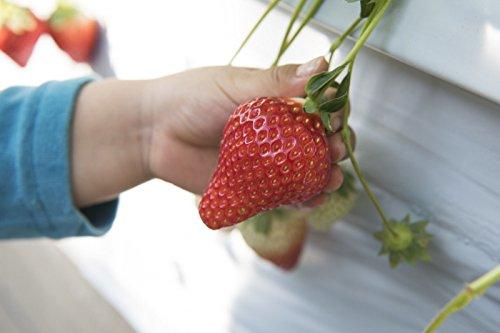Riesen Erdbeeren / Fragaria ananassa / die größte Erdbeere der Welt / ca. 50 Samen / aromatisch / gesund / Vitamine