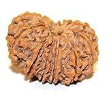 Nepali rudraksha-13 mukhi rudraksha- 13 mukhi nepali rudraksha-100% original rudraksha